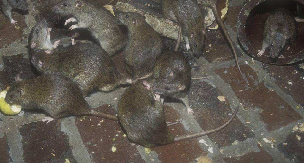уничтожение крыс в Нижнем Тагиле