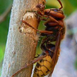 Уничтожение шершней в Нижнем Тагиле